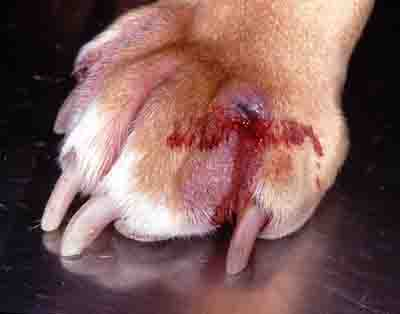 xswollen-dog-paw-jpg-pagespeed-ic-vlbpf6na9o